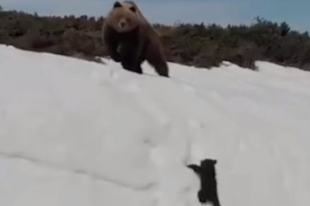 Scientists express concern over possible wildlife-harming drone use in a recent viral video of a bear cub