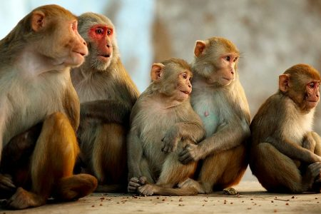 Monkeys in Florida carrying deadly herpes virus could double by 2022, experts say