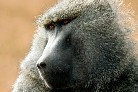 Pig hearts can function for months in baboons, study shows, bringing us closer to their use in humans – CNN