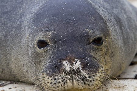 Hawaiian Monk Seal Gets Eel Stuck Up Its Nose – HuffPost