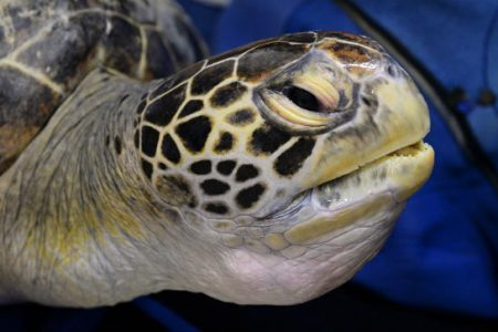 Microplastics found in the guts of all sea turtles in new study   TheHill – The Hill