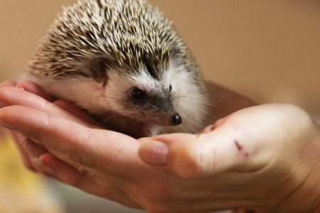 Don't Kiss Your Pet Hedgehogs, C.D.C. Warns – The New York Times