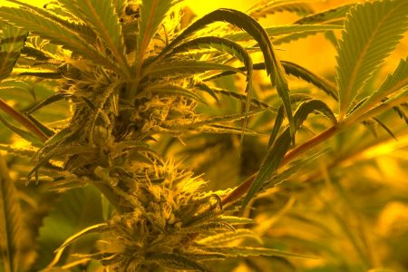 Is pot the future of the tobacco industry? – Fox News