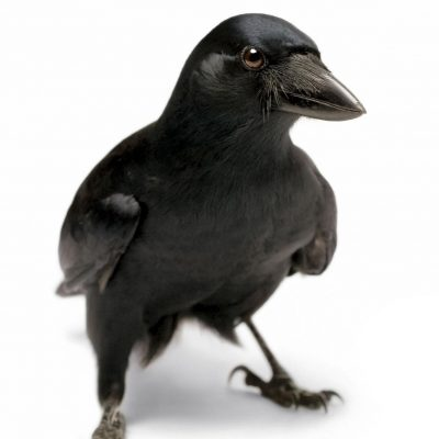Like chess players, these crows can plan several steps ahead – National Geographic