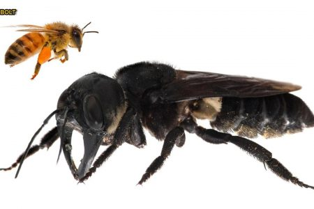 World's largest bee with giant jaws rediscovered in the wild – Fox News