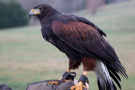 Heathrow Airport hawk stolen outside hotel – Fox News