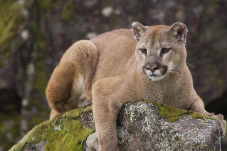 Colorado man kills mountain lion: Runner survives attack by suffocating mountain lion – CBS News