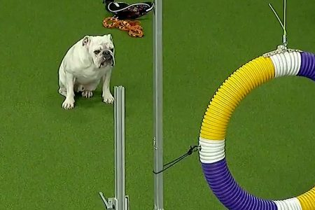 Rudy the bulldog's run at Westminster Kennel Club's agility contest goes viral – Fox News