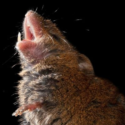 These Mice Sing to One Another — Politely – The New York Times