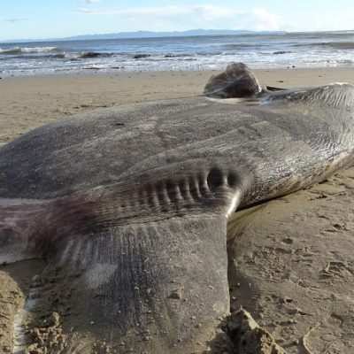 A huge, strange-looking fish washed up on a California beach. Scientists say it's a first – CNN