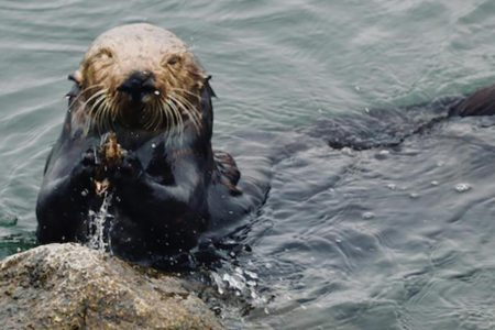 Otters use tools to eat, and it's recording their history – CNN