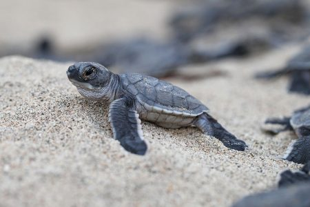 Traveler attempted to smuggle 1,500 live turtles into the Philippines – USA TODAY